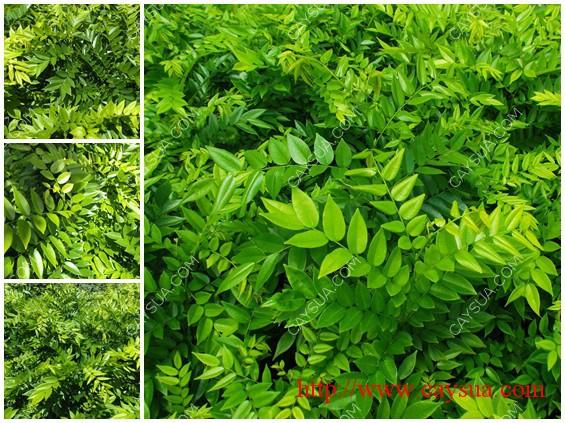 Hình ảnh cây gỗ sưa đỏ tại vườn ươm [Cây sưa - Lá sưa]