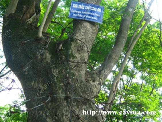 Bảo vệ cây gỗ sưa bằng dây thép gai