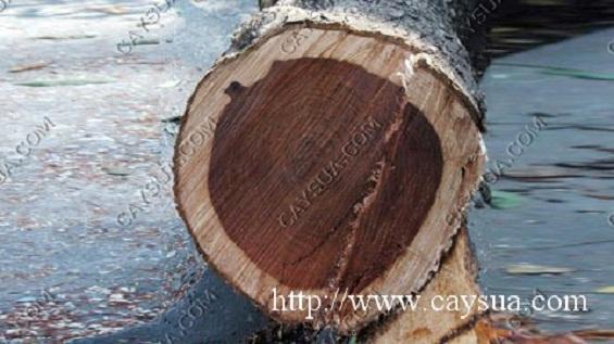 Cây gỗ sưa đỏ đến tuổi khai thác