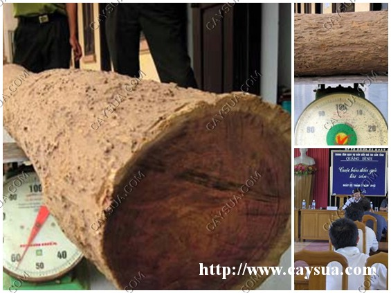 Toàn cảnh phiên đấu giá cây gỗ sưa đỏ - kết quả 13 triệu/kg