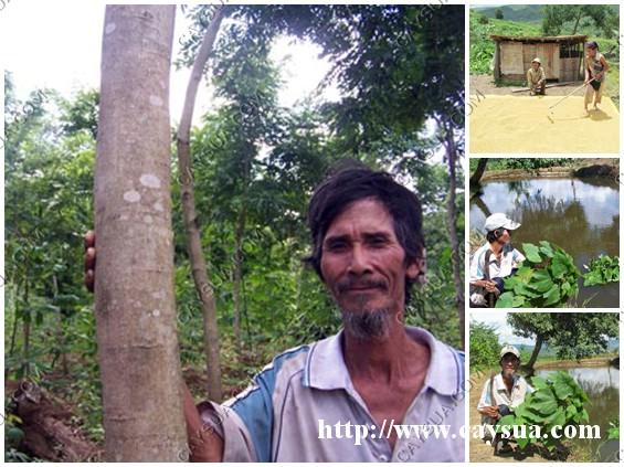 Người tiên phong trồng cây sưa đỏ ở Kon Tum .
