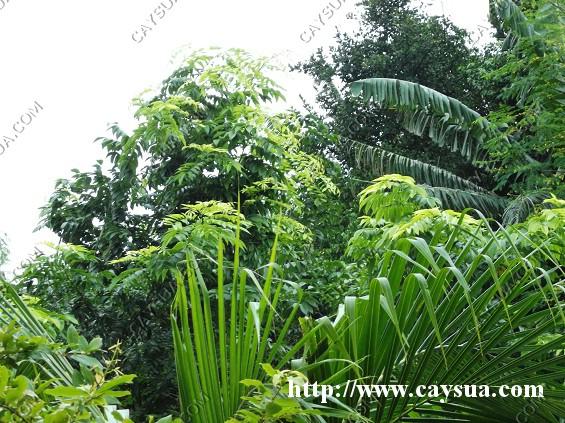 Cây sưa đỏ trồng xen với nhiều loại cây trồng [cây công nghiệp, cây ăn quả, cây cảnh, cây thuốc...]