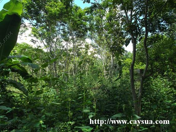 Cây sưa được trồng thành rừng, trong giai đoạn đầu cần chăm sóc để cây phát triển nhanh