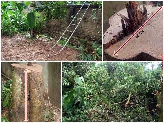 Cây gỗ sưa đỏ bị kẻ gian cưa trộm trong đêm mưa gió