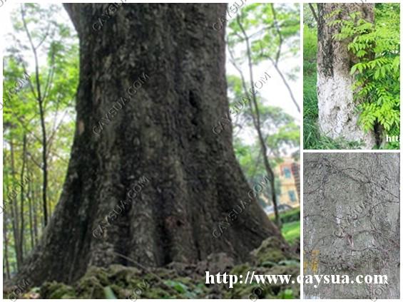 Gốc cây gỗ sưa lớn