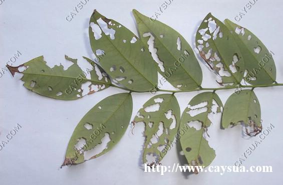 Hình ảnh mặt dưới lá cây sưa đỏ bị bọ cánh cứng phá hoại