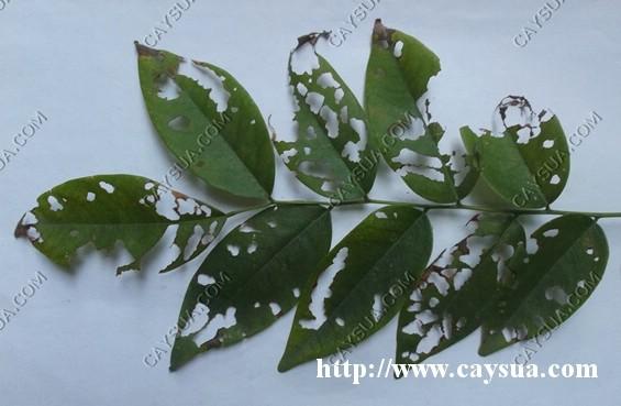 Hình ảnh mặt trên lá cây sưa đỏ bị bọ cánh cứng phá hoại