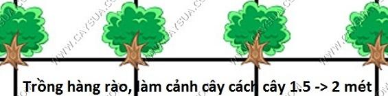 Khoảng cách trồng cây gỗ sưa đỏ làm cảnh hoặc làm hàng rào [cây cách cây 1.5 - 2 mét]
