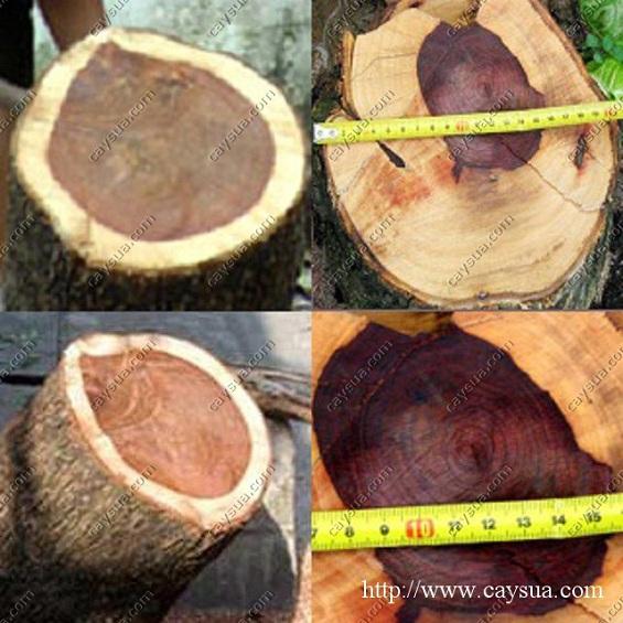 Lõi cây gỗ sưa đỏ là phần có giá trị kinh tế cao nhất