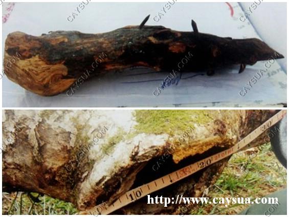 Mẫu gỗ sưa thật và vị trí đóng vào trên cây Hương vườn