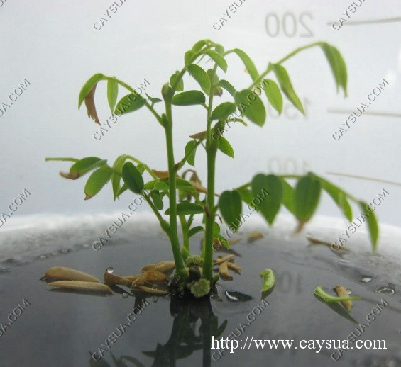 Giống cây sưa được hình thành trong ống nghiệm [thử nghiệm]