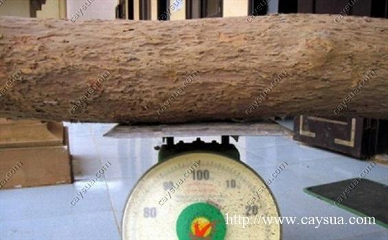 Phần thân cây gỗ sưa đỏ được cân Kg để bán