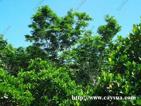 Trồng cây gỗ sưa thành rừng hoặc trồng xen với cây ăn trái cho thu nhập cao